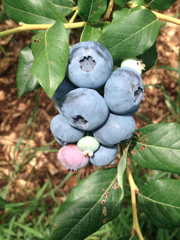 Ripening blueberry bush