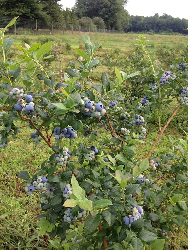 Ripe blueberry bush