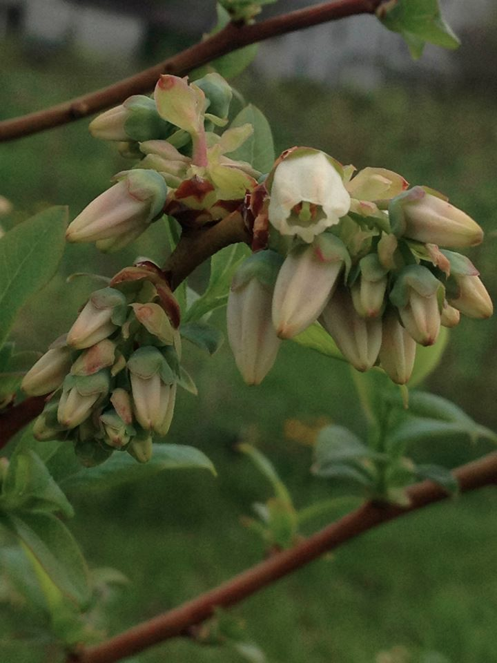 RBlueberry blossom branch